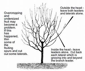Ga Peach Tree Pruning Diagram Pictures To Pin On Pinterest
