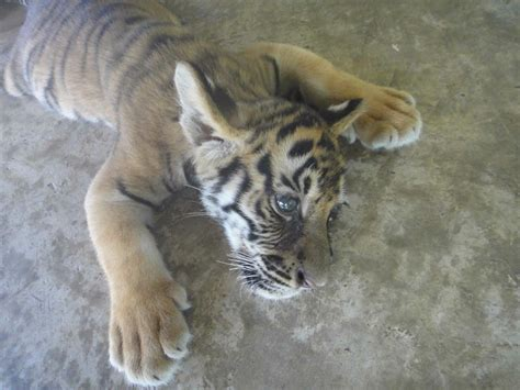 tiger petting cub tigers zoo thailand cubs wobbly creature legged suspicion because ve been which