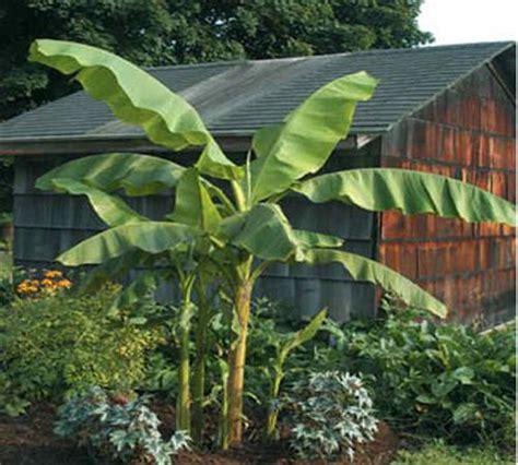 musa basjoo bananier japonais arbuste