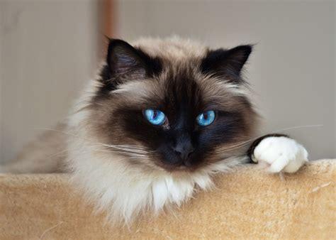 Kaķu šķirnes ar suņiem līdzīgu raksturu - Tava Klade