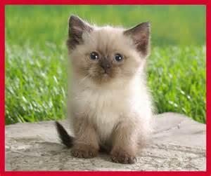 cutest cat breeds kitty world ragdoll kitten