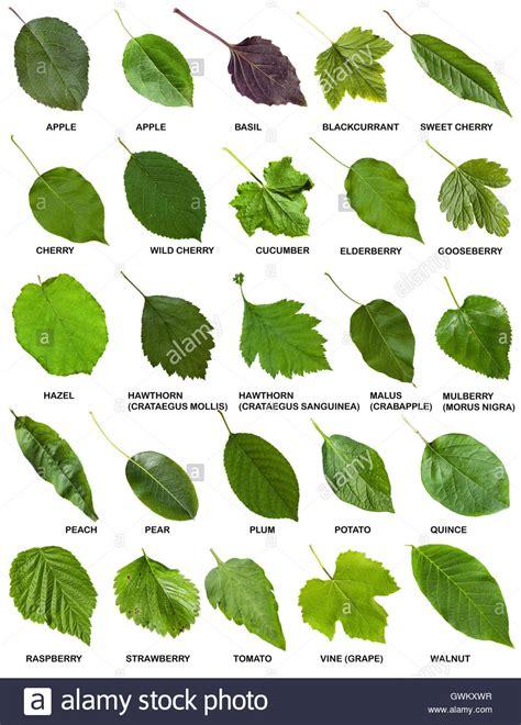 set  green leaves  trees  shrubs  names