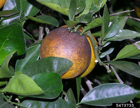 citrus rust mite mites orange trees problems kill control rid common pest fruits gardeningknowhow