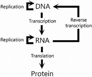 The Scheme Shows The Directionality Of Genetic Information As Dictated