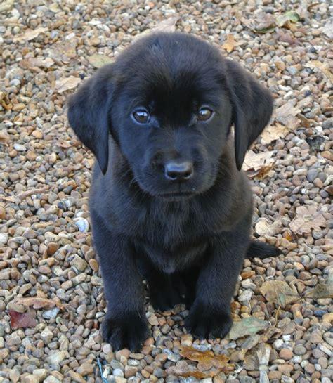 kc reg black labrador puppies ashford kent petshomes