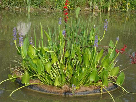 water plants water plant pickerel rush are blue flowering aquatic plants for ponds