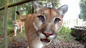 GoPro: Feeding Cougars - YouTube