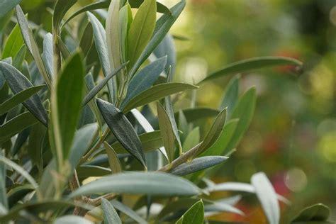 olivenbaum in der wohnung überwintern olivenbaum in der wohnung