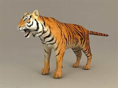 3d Tiger Bengal Models Fbx Cadnav Object