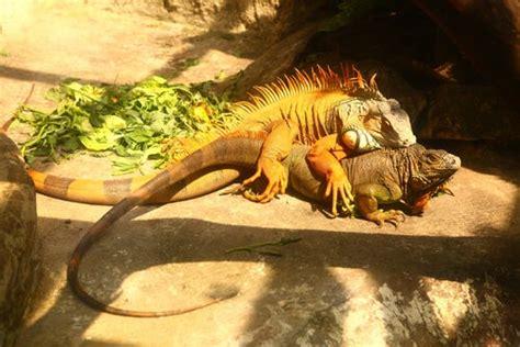 todo sobre la reproduccion de la iguana comun mis animales