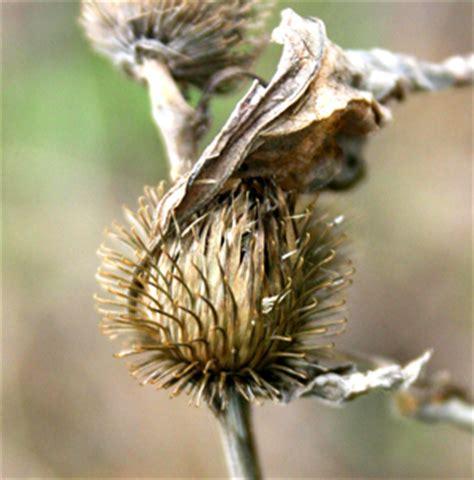 medicinal plants great burdock