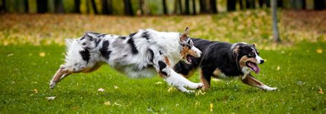 australian shepherd dog breed facts  traits hills pet