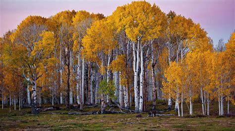 Wallpaper Free Tree Images by Birch Tree Wallpapers Pixelstalk Net