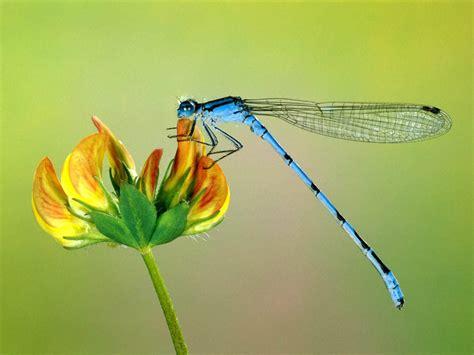 capung cantik animal planet