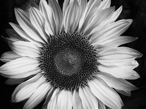 Black And White Images Of Flowers 11 Desktop Wallpaper