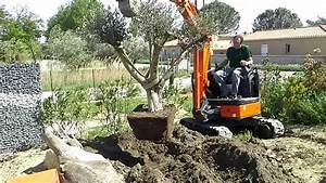 Planter Un Olivier En Pleine Terre : planter un gros olivier ~ Farleysfitness.com Idées de Décoration
