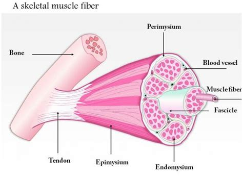 skeletal muscle fiber medical images  powerpoint