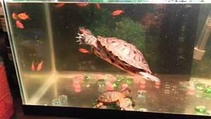 Ninja The Turtle Eating Goldfish