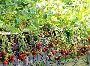 Rote Stauden Winterhart : erdbeeren melonen physalis samen s mereien bestellen ~ Michelbontemps.com Haus und Dekorationen
