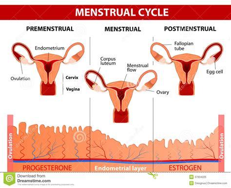 Pics For Menstrual Cycle Diagram Uterus