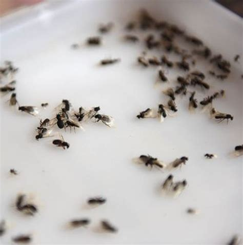 How To Get Rid Of Tiny Brown Ants In House Howstoco
