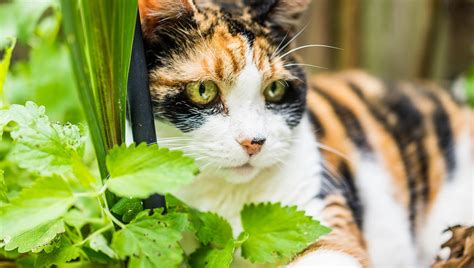 Best Catnip by Best Catnip Ranked Reviewed For 2019
