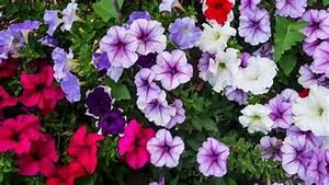 Blühende Sträucher Für Sonnigen Standort : 14 pflegeleichte balkonpflanzen f r einen sonnigen standort ~ Watch28wear.com Haus und Dekorationen