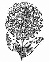 Zinnia Coloring Printable 1800px Designlooter Flower 52kb 1134 1440 sketch template