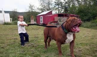 Largest World Biggest Pitbull