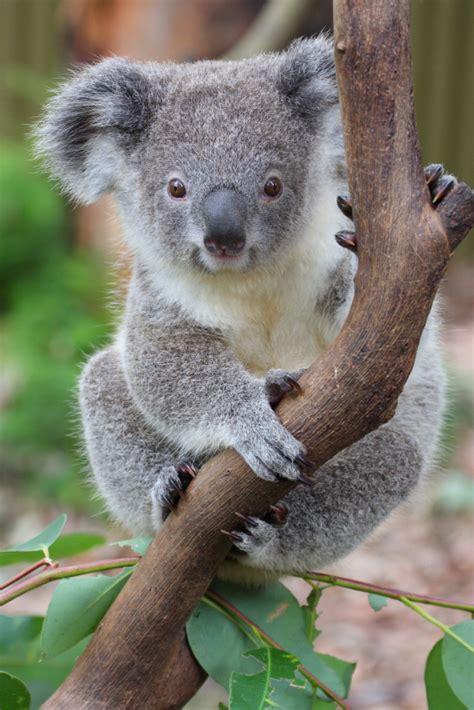 koala facts for australian animals marsupials