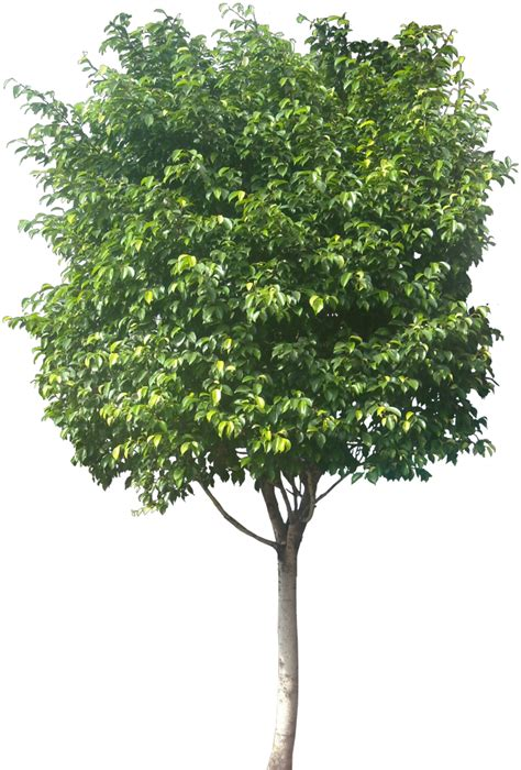 ficus tree tropical plant pictures ficus benjamina weeping fig