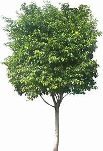 Ficus Benjamini Vermehren : tropical plant pictures ficus benjamina weeping fig ~ Lizthompson.info Haus und Dekorationen
