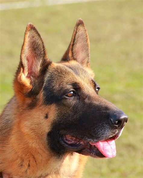Ee  German Shepherd Ee   Dog Wikidata