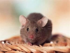 Wie Vertreibt Man Ratten : wissen ber haustiere meine m use und meine ratten ~ Eleganceandgraceweddings.com Haus und Dekorationen