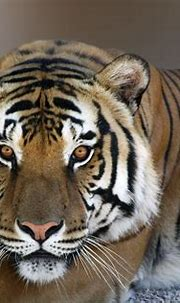 Tiger Eyes | Look at those gorgeous eyes. Tigers are so ...