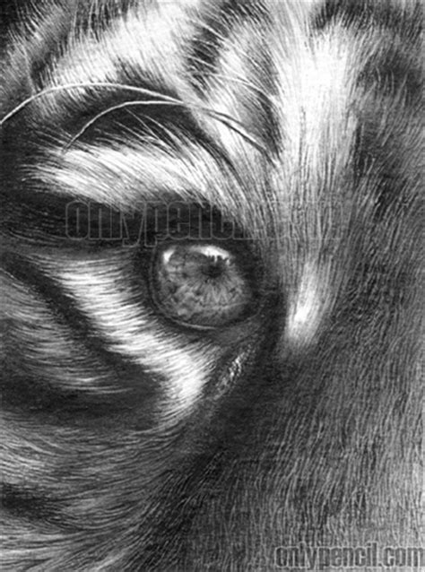 drawing realistic tiger  pencil eyes onlypencil
