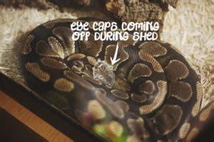 Python Shedding Tips by My Pet Python Python Care Snake Facts More