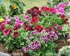 Gut Riechende Zimmerpflanzen : pelargonium 39 french vanilla 39 orkide pinterest geranien gartenparadies und bl ten ~ Markanthonyermac.com Haus und Dekorationen