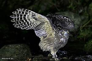 Big Trees for Big Owls - American Forests