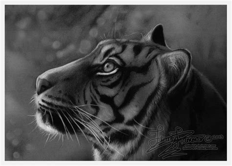 tiger charcoal drawing  spike  deviantart