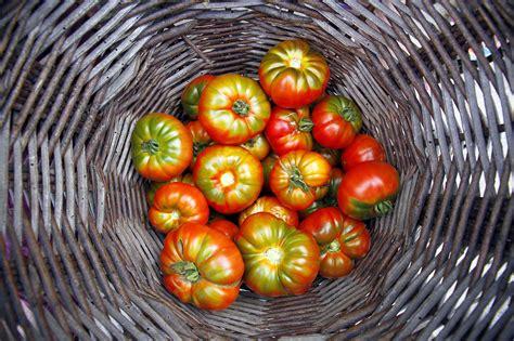 Wie Lange Halten Tomaten Im Kühlschrank by Tomaten Im K 252 Hlschrank Ein No Go Plantura
