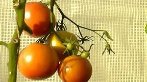 Comment Tuteurer Les Tomates : comment planter les tomates sous abri ~ Melissatoandfro.com Idées de Décoration