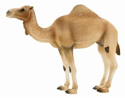 Camel Arabian Eu Mojofun Wildlife