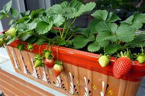 Erdbeeren Pflege Balkon : tipps wie sie erdbeeren auf dem balkon pflanzen und ~ Lizthompson.info Haus und Dekorationen