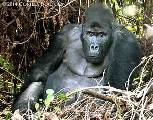Ensnared Grauer's Gorilla Juvenile Freed in Veterinary ...