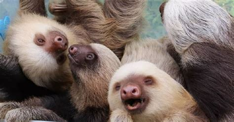 Viral Video Shows Baby Sloths Having An Adorable Conversation