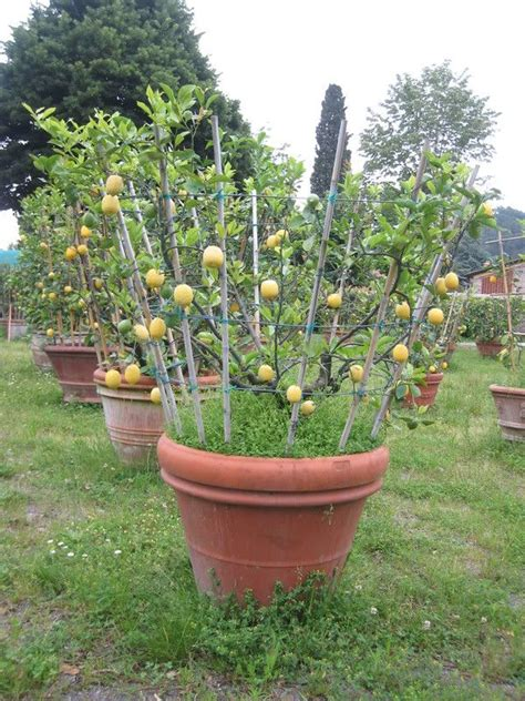 lemon espaliered in pot container garden