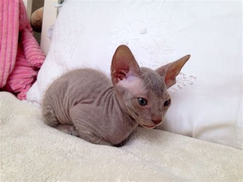 For Sale Don Sphynx Kittens  Dagenham, Essex Pets4homes