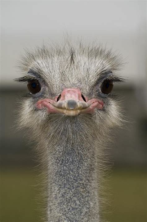 The 25+ Best Ostrich Funny Ideas On Pinterest Animal