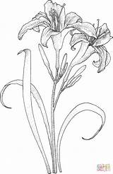 Coloring Lily Pages Lilies Drawing Printable Silhouettes sketch template